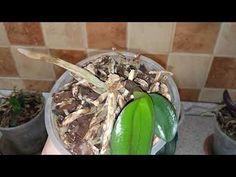 Если у вас остался от орхидеи один пенёк, не выбрасывайте его, при правильном уходе из пенька может вырасти детка. В этом видео я рассказываю об успехах роста деток на пеньке. Страничка в Instagram🌼 irina_my_flowers #орхидеи #деткаорхидеи #орхидея