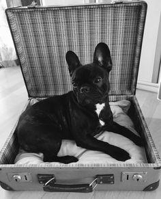 Cute french Bulldogg Frenchi Dog Bed Koffer