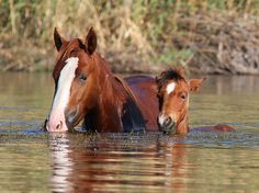 Mare and foal swimmin in river. Look at that cute little face! Top 10 Beautiful Salt River Wild Horses