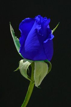 The Blue Moon Rose. by cathysapp - this looks photo-shopped but, I don't know . . . .