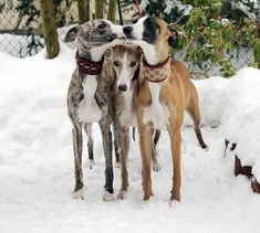 Three sweet whippets in the snow. Greyhound Art, Italian Greyhound, Animals And Pets, Cute Animals, Baby Animals, Lurcher, Lovely Creatures, Grey Hound Dog, Dog Items