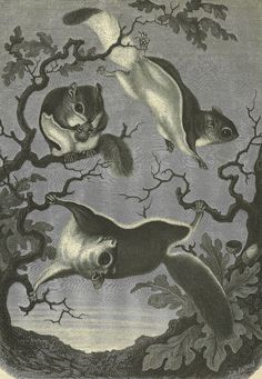 Flying squirrel illustration