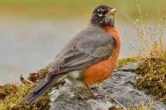 Gallery of all 50 state birds, including when and why each bird was adopted, what states share birds, and how to see each one. Johnny Jump Up, American Robin, State Birds, All Birds, Colorful Birds, Bird Art, Habitats, Art Projects, Photo Galleries