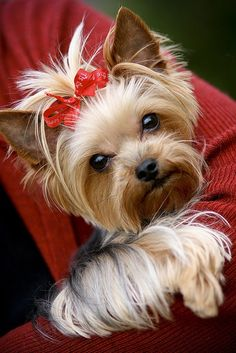 Cute Yorkie | Found in @GuessQuest collection