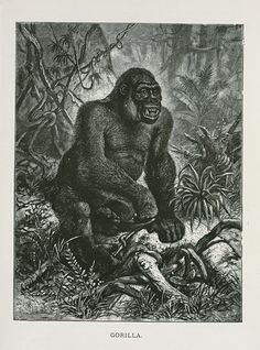Gorilla. From New York Public Library Digital Collections.