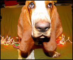 I got big ears... #bassethound #Christmas #Photography