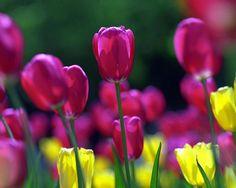 Imágenes de flores y plantas: Tulipanes