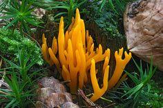 Calocera viscosa ~ Yellow Stagshorn