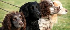 The Sporting Picture · Gun Dog Photography