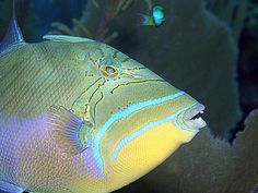 Queen Triggerfish in action!