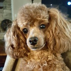 """Visit our site for additional information on """"poodle pups"""". It is actually an outstanding area to find out more. Red Poodles, Mini Poodles, French Poodles, Standard Poodles, Toy Poodle Puppies, Cute Puppies, Cute Dogs, Dogs And Puppies, Doggies"""