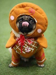 Ginger-pug