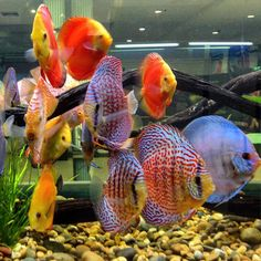 Big Aquarium, Discus Aquarium, Fish Aquariums, Discus Fish, Freshwater Aquarium Fish, Acara Disco, Animals And Pets, Cute Animals, Fish Tales