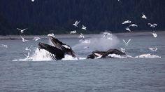 Watched Bubble Feeding Humpbacks outside Juneau