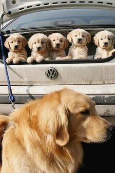 Golden puppies!