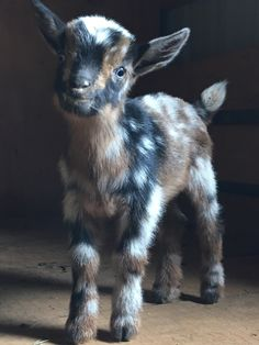 Blue eyes, moonspots, splash and flash ~ this one has it all! Baby Farm Animals, Baby Cows, Cute Little Animals, Cute Funny Animals, Fluffy Cows, Fluffy Animals, Goats In Sweaters, Nigerian Dwarf Goats, Cute Goats