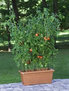 How to Grow Grape Tomatoes in a Pot | eHow
