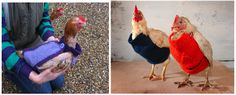 These are chickens wearing sweaters. (I'll give you a second...) Chickens. Wearing sweaters. Sweaters knitted by humans. For chickens.