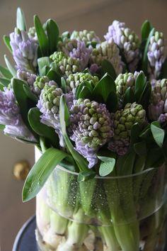hyacinth City of Bradford - Mana vietne Shabby Chic Flowers, Bulb Flowers, Tulips Flowers, Daffodils, Spring Flowers, White Flowers, Beautiful Flowers, Hyacinth Bean Vine, Flower Bar