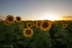 Sunset, Sunflower