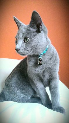 Our Russian Blue - Smokey