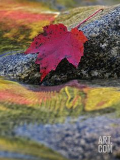 Red Maple Leaf on Rock in Swift River, White Mountain National Forest, New Hampshire, USA Photographic Print by Adam Jones at Art.com