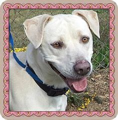 Act quickly to adopt LILLY. Pets at this Shelter may be held for only a short time.Marietta, GA - Labrador Retriever Mix. Meet LILLY a Dog for Adoption.