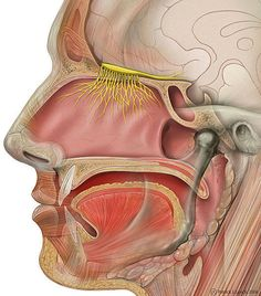 In this article about the 12 cranial nerves you'll find a concise overview of classification and functions. During medical studies, cranial nerves are an essential topic. Cranial Nerves Anatomy, Nerve Anatomy, Head Anatomy, Anatomy And Physiology, Ocotea Essential Oil, Brain Injury, Reduce Weight, Lose Weight, Weight Loss