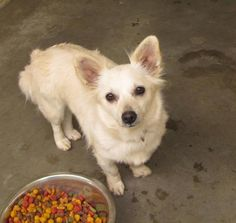 Female, 2Yrs 0 Months   white Terrier Dog 12875