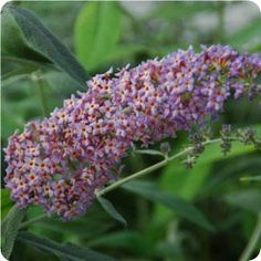 Butterfly Bush - Flutterby Grande 'Blueberry Cobbler' – Blue flowers with prominent orange eyes in cone-shape clusters.  Grows 4-6' X 4-6', Z5