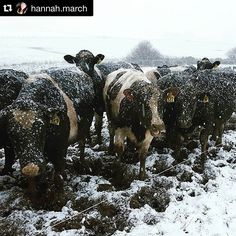 #Repost @hannah.march with @repostapp.  Winter Wonderland  #winter #dairyfarming #southland #mysouthland #capturenz #snow #today Days like his the animal rights looneys will be saying these animals should be indoors build them a shed & they will say animals belong on grass!! #Nzfarming by _nzfarming