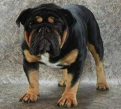 ... on Pinterest | Bulldogs, English Bulldog Puppies and English Bulldogs