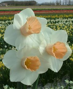 Narcissus Pink Silk - Trumpet Daffodils - Narcissi - Flower Bulb Index