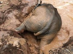 Such a great fun with mud water. Look at the baby elephant enjoying himself in the mud pool, he's so adorable!!