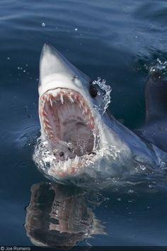 mako shark, rhode island – joe romeiro