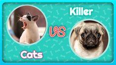 Killer Cats and Dogs Dog Chews, French Bulldog, Dog Cat, Cats, Animals, Gatos, Animales, Animaux, French Bulldog Shedding