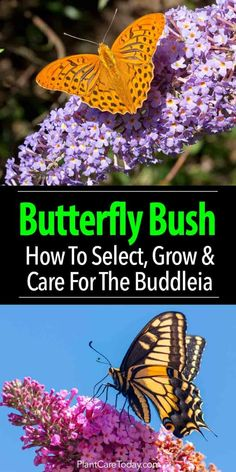 butterfly garden The butterfly bush, Buddleia plant a wonderful garden addition attracting butterflies - considered invasive but non-invasive are available. [LEARN MORE] Butterfly Bush Care, Butterfly Plants, Butterfly Feeder, Monarch Butterfly, Organic Gardening, Gardening Tips, Gardening Quotes, Flower Gardening, Gardens