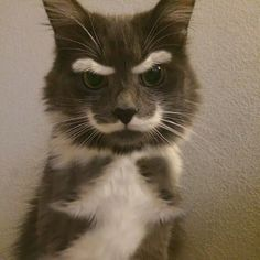 This cat has a mustache, but more importantly an upvote on its chest - Imgur