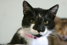 URGENT!!!! Please help save a life! Foster families needed ASAP!  Boots is an adoptable Domestic Short Hair-Black And White Cat in Frankfort, KY.  ...