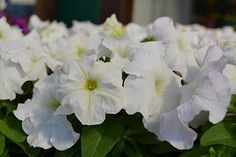 petunia-limbo
