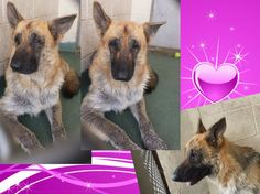 YOLI (A1676323) I am a female brown and black German Shepherd Dog. The shelter staff think I am about 5 years old. I was found as a stray and I may be available for adoption on 02/04/2015. — Miami Dade County Animal Services. https://www.facebook.com/urgentdogsofmiami/photos/pb.191859757515102.-2207520000.1422827560./920851971282540/?type=3&theater