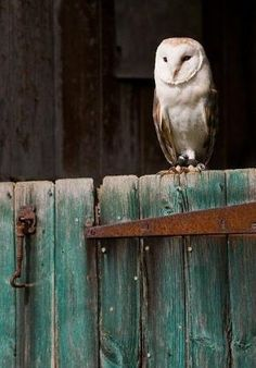 A Barn Owl on a barn door. I like the contrast of the dark interior of the barn, and the colours of the door in this shot. I wish the barn owl was sligh. Beautiful Owl, Animals Beautiful, Cute Animals, Wild Animals, Baby Animals, Funny Animals, Rapace Diurne, Owl Always Love You, Wise Owl