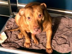 TABITHA - 12152 - - Manhattan  TO BE DESTROYED 11/13/17: ****MUST BE PULLED BY A NEW HOPE RESCUE**** -  Click for info & Current Status: http://nycdogs.urgentpodr.org/tabitha-12152/