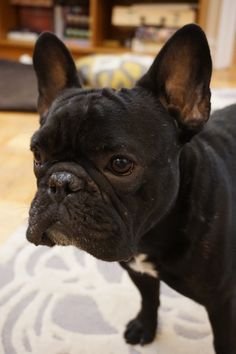 Buckminster Diaries: The story of a french bulldog