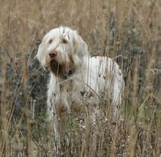 Spinone Italiano Dog Breed Information Top Dog Breeds, Akc Breeds, Large Dog Breeds, Big Dogs, Large Dogs, Curly Coated Retriever, American Akita, Bluetick Coonhound, Norwich Terrier