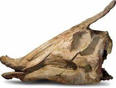 Crâne de Saurolophus