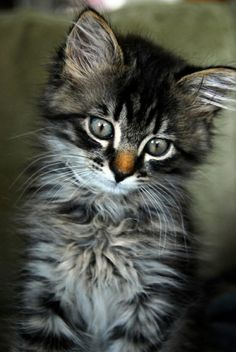 A kitten is the delight of a household. All day long a comedy is played by this incomparable actor ~ Jules Champfleury