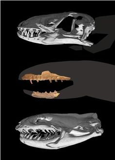 Tracing the origins of Squamata (snakes and lizards).  Ancient fossil provides evidence.