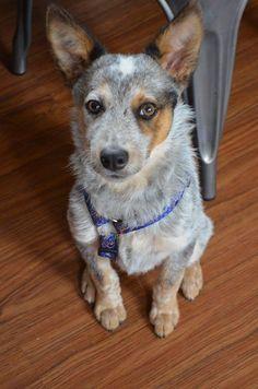 Meet Waylon - NH, a Petfinder adoptable Australian Cattle Dog (Blue Heeler) Dog   Somersworth, NH   WaylonBreed: Australian Cattle Dog MixAge: 5 month old +/-; MaleWeight: 20 poundsDogs: YesCats:...