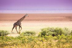 The Best Safari Destinations in Tanzania - Where to Go. African Safari, Africa Travel, Where To Go, The Locals, Mammals, Giraffe, Tours, Good Things, Adventure